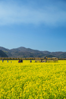 笠岡ベイファームにて菜の花畑 10685003438| 写真素材・ストックフォト・画像・イラスト素材|アマナイメージズ