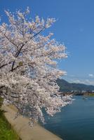 桜萩八景遊覧船
