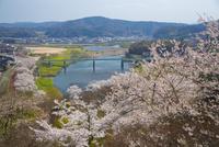 尾関山公園の桜 10685003566| 写真素材・ストックフォト・画像・イラスト素材|アマナイメージズ