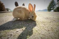 ウサギ島のウサギ