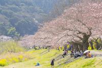 錦川沿いの桜並木