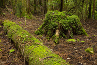 苔むす魚梁瀬杉の森