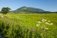 高山植物咲く八島ヶ原湿原