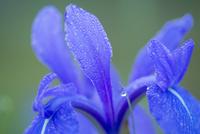 朝露に濡れるカキツバタの花
