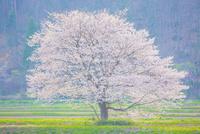 芸北にて満開の桜の木