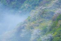 新緑と山桜で彩る朝霧の山