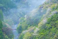 新緑と山桜で彩る朝霧の渓谷