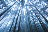 釈迦院御坂遊歩道にて霧の杉林