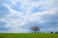 前原の一本桜 10685004718| 写真素材・ストックフォト・画像・イラスト素材|アマナイメージズ