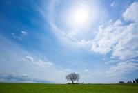 前原の一本桜 10685004724| 写真素材・ストックフォト・画像・イラスト素材|アマナイメージズ