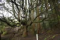 高森殿の杉 10685004737| 写真素材・ストックフォト・画像・イラスト素材|アマナイメージズ