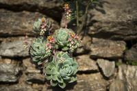 アンナプルナ 多肉植物