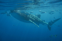 フィリピン,セブ島のジンベイザメ