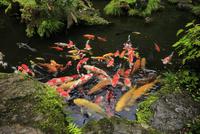 エサに群がる池の鯉