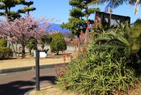 初島の桜とアロエ 10696002402| 写真素材・ストックフォト・画像・イラスト素材|アマナイメージズ