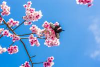 沖縄 青空と桜と蝶