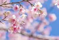 沖縄 青空と桜