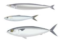 青魚三種 サンマとイワシとサバ