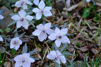 広島県総領町に咲く節分草