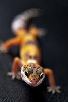 癒し系トカゲ 10724002752| 写真素材・ストックフォト・画像・イラスト素材|アマナイメージズ