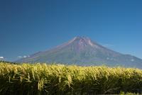 稲穂と富士山 10729002615| 写真素材・ストックフォト・画像・イラスト素材|アマナイメージズ