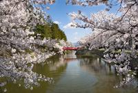 松が岬公園(上杉神社)の桜 10729003961| 写真素材・ストックフォト・画像・イラスト素材|アマナイメージズ
