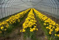 食用菊「黄菊」の畑