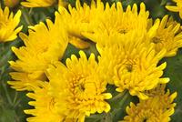 食用菊「黄菊」