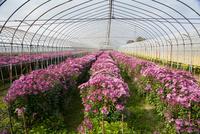 食用菊「もってのほか」の畑