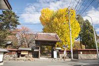 秋の専称寺のイチョウ