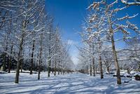 雪晴れの並木