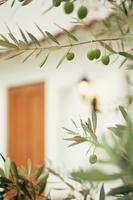 玄関口の手前のオリーブの木