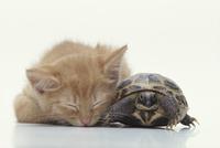 ネコ(雑種)とカメ
