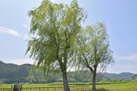近江八幡の水郷と柳の木
