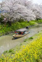 日本の桜風景 近江八幡水郷めぐりの船(タテ写真)