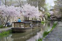 日本の桜風景 八幡堀にて、桜と柳と和船