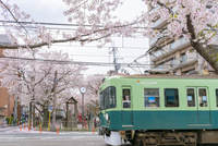 日本の桜風景 路面電車(京阪電車)と桜