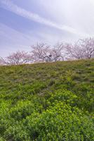 風車街道の桜とノウルシの花 10737000231| 写真素材・ストックフォト・画像・イラスト素材|アマナイメージズ