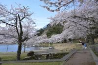 日本の桜風景 海津大崎の桜と遊歩道