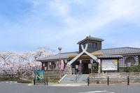 日本の桜風景 油日駅と桜 10737000245| 写真素材・ストックフォト・画像・イラスト素材|アマナイメージズ