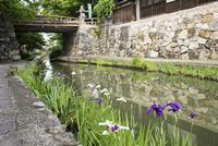 初夏の八幡堀,白雲橋とハナショウブ