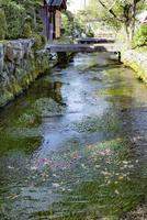 中山道醒井宿 地蔵川と石橋とバイカモの花