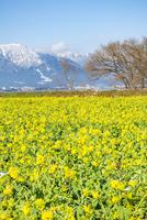 菜の花畑と雪の比良山系(タテ写真) 10737000341| 写真素材・ストックフォト・画像・イラスト素材|アマナイメージズ