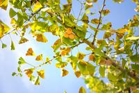 イチョウの枝に実ったギンナン 10737000376| 写真素材・ストックフォト・画像・イラスト素材|アマナイメージズ