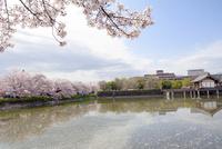 日本の桜風景 高田千本桜と大中公園 10737000377| 写真素材・ストックフォト・画像・イラスト素材|アマナイメージズ