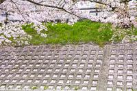 桜の花びらが降り積もった土手(高田千本桜) 10737000378| 写真素材・ストックフォト・画像・イラスト素材|アマナイメージズ