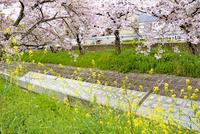 日本の桜風景 高田千本桜と菜の花 10737000379| 写真素材・ストックフォト・画像・イラスト素材|アマナイメージズ