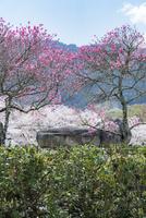 桃と桜の花咲く石舞台古墳 10737000380| 写真素材・ストックフォト・画像・イラスト素材|アマナイメージズ