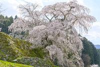 日本の桜風景 又兵衛桜 10737000383| 写真素材・ストックフォト・画像・イラスト素材|アマナイメージズ