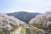 日本の桜風景 鮎河千本桜 10737000392| 写真素材・ストックフォト・画像・イラスト素材|アマナイメージズ